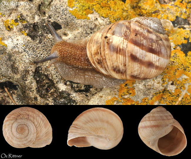 Helix engaddensis