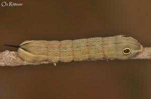 Hippotion celerio Larva 1