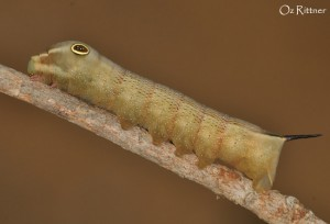 Hippotion celerio Larva