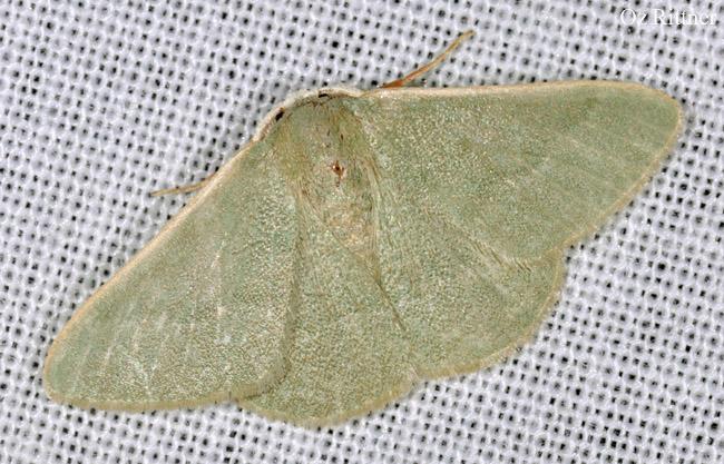 Holoterpna-pruinosata