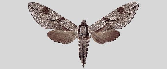 Hyloicus pinastri pinastri