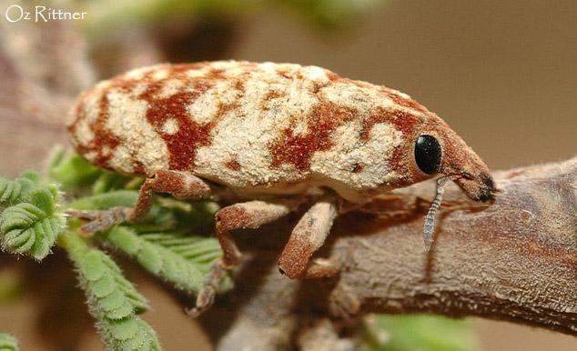 Hypolixus nubilosus
