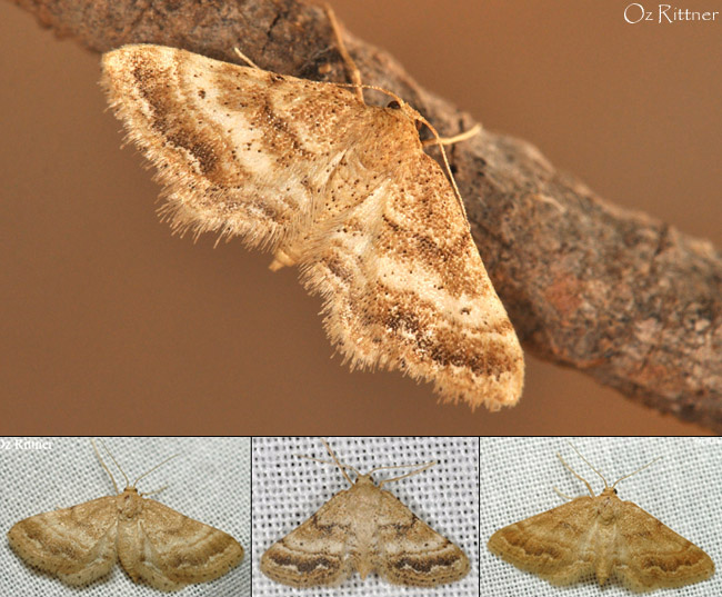 Idaea inclinata