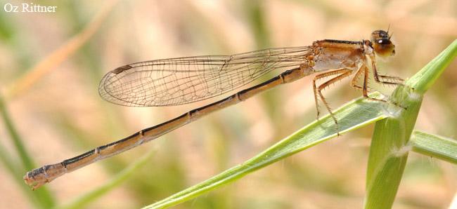 Ischnura elegans ebneri Female