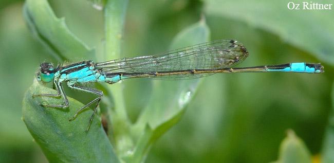 Ischnura elegans ebneri Male