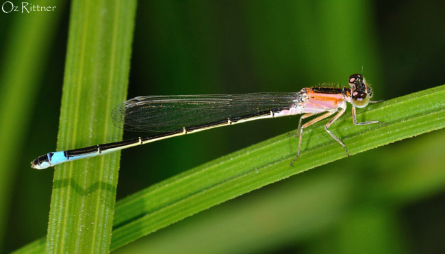 Ischnura senegalensis
