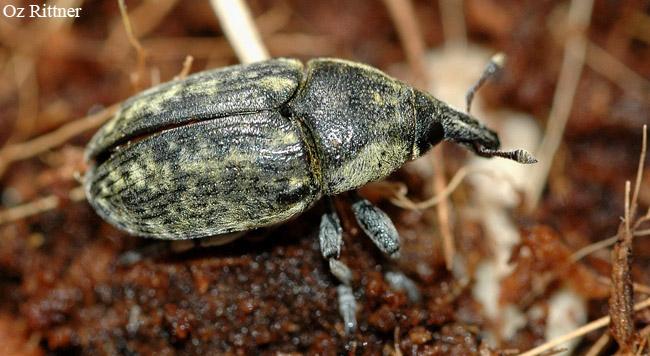 Larinus ovaliformis