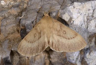 Lasiocampa-josua-female