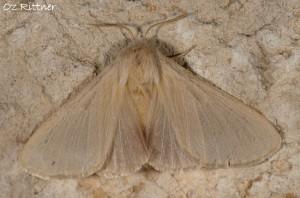 Lasiocampa puengeleri Female