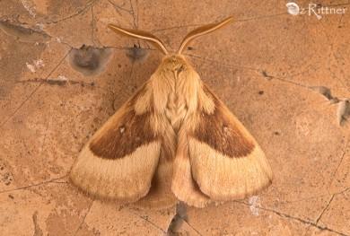 lasiocampa-trifolii-1
