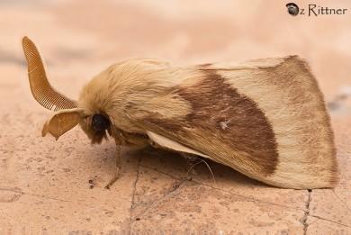 lasiocampa-trifolii
