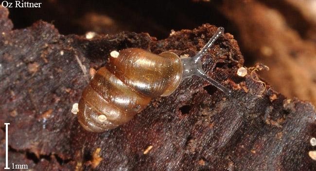 Lauria cylindracea
