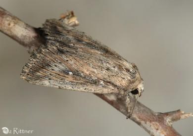 Leucania loreyi 2