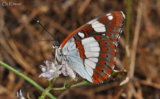 Limenitis reducta schiffermuelleri 2