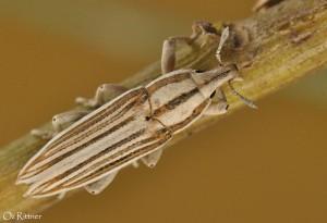 Lixus nubianus 1