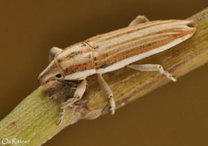 Lixus nubianus
