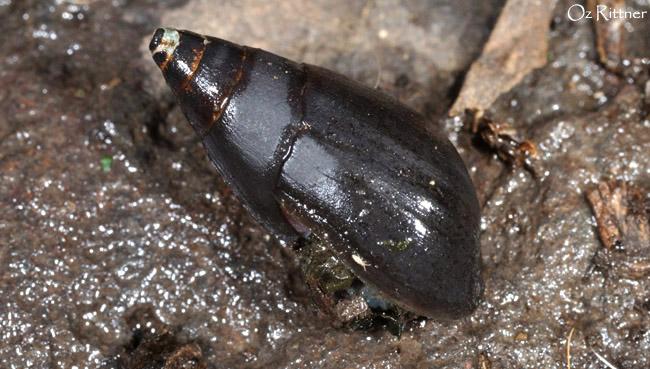Melanopsis buccinoidea