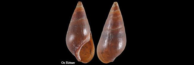 Melanopsis eremita