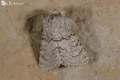 Metopoceras omar