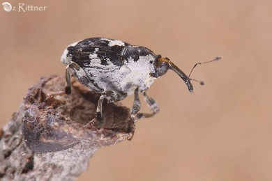 Mogulones larvatus 1