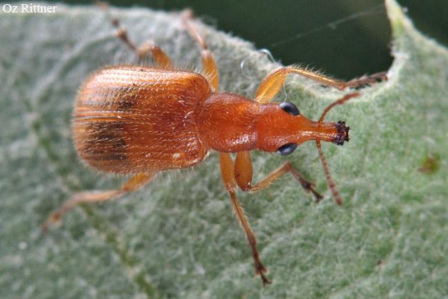 Nelasiorhynchites syriacus 1