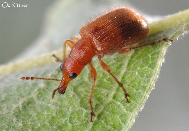 Nelasiorhynchites syriacus 2