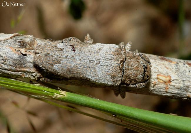 Niphona picticornis 2