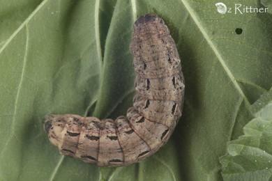 Noctua pronuba Larva