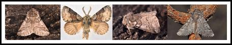 Notodondidae