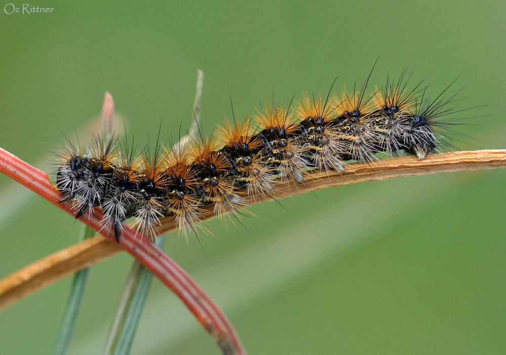 Ocnogyna loewii Larva