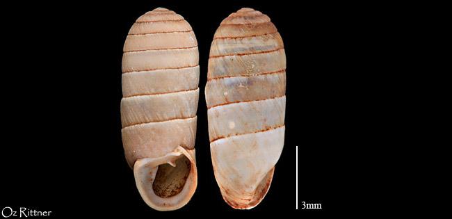 Orculella sirianocoriensis libanotica