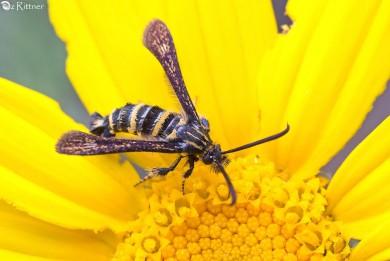 Osminia cf fenusaeformis