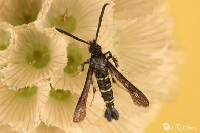Osminia fenusaeformis
