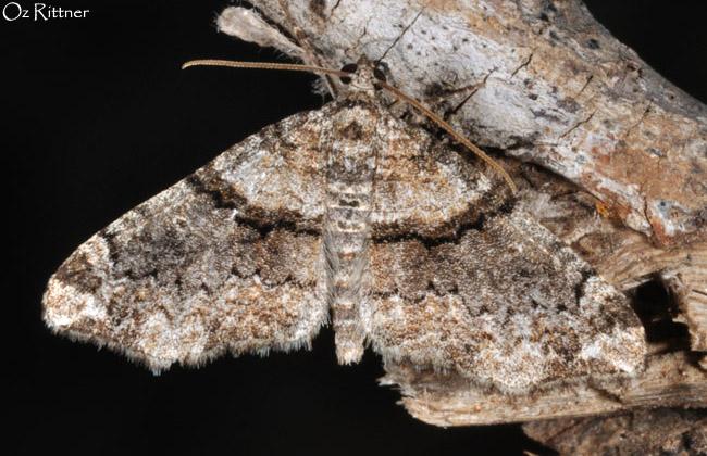 Oulobophora externaria