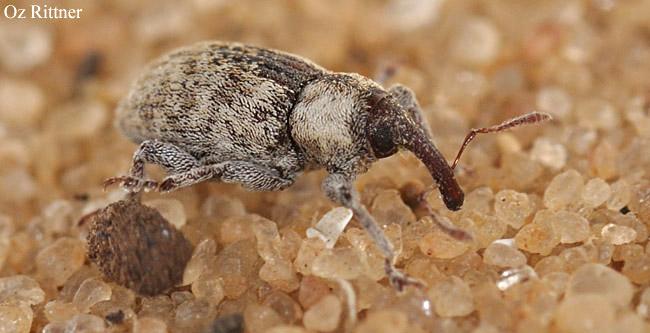 Pachytychius sp
