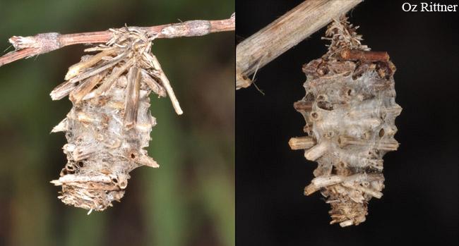 Phalacropterix bruandi