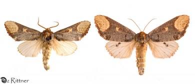 phalera-bucephaloides-syriaca-2