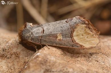 Phalera bucephaloides syriaca