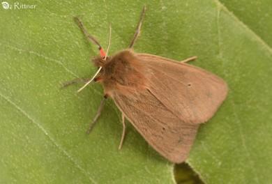 Phragmatobia fuliginosa taurica 1