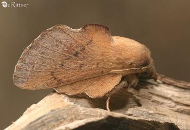Phyllodesma joannisi soligena 0