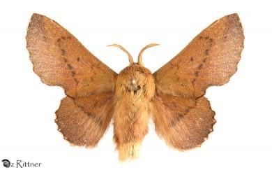 phyllodesma-joannisi-soligena