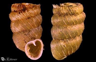 Pilorcula raymondi hebraica