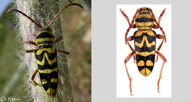 יקרונית נאה (Plagionotus bobelayei (Brulle, 1832