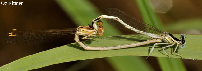 Platycnemis dealbata Mating