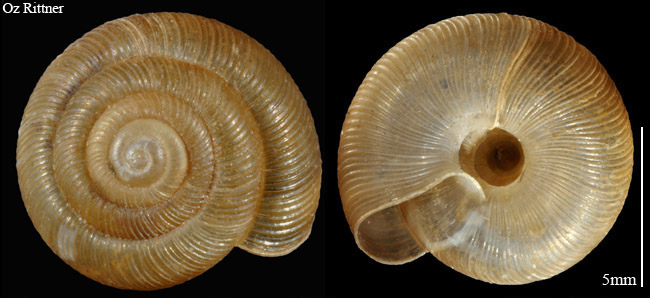 Pleurodiscus erdelii