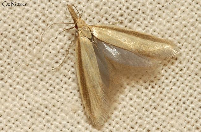 Pleurota sp