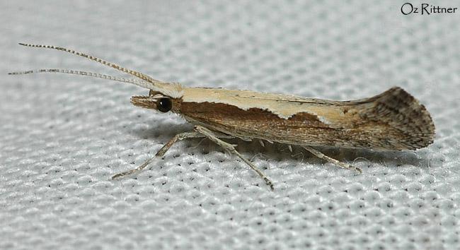 Plutella maculipennis