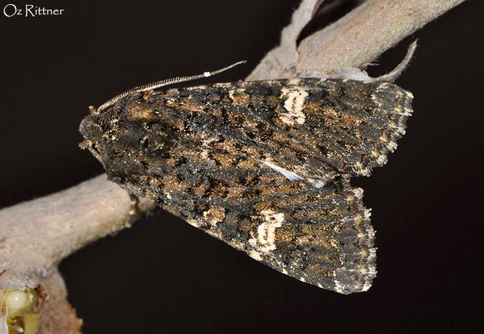 Polymixis serpentina