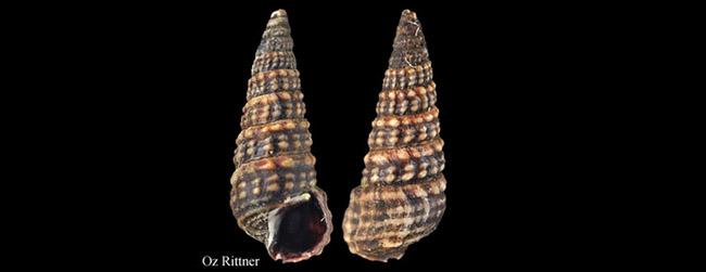Potamides conicus