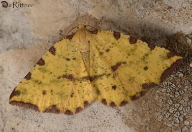 Pseudopanthera syriacata 2